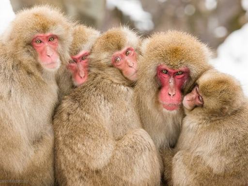 Japan Snow Monkey Explorer